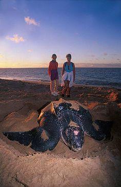La tortuga laúd (Dermochelys coriacea) es la tortuga marina más grande y uno de los reptiles que ha sobrevivido durante cientos de millones de años. Ahora se encuentra bajo grave peligro de extinción. ©: WWF.
