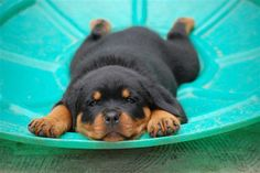 Baby rott ...........click here to find out more googydog.com