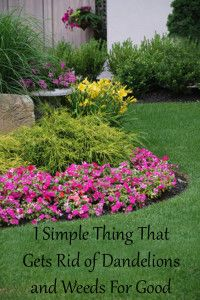 1 simple thing  that gets rid of dandelions and weeds for good