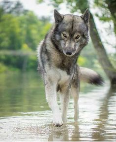 Walking with flow - Lobos - Wolf Photos, Wolf Pictures, Anime Wolf, Beautiful Creatures, Animals Beautiful, Tier Wolf, Wolf Hybrid, Funny Animals, Cute Animals