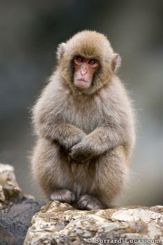 A rather grumpy-looking young Japanese Macaque | Photo by Will Burrard-Lucas at http://www.burrard-lucas.com/