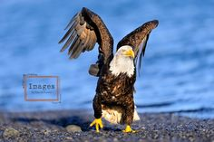 If he walks like an eagle, he's an eagle. by Kandace Heimer on 500px