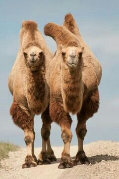 Camels...is that one hump (dromedary) or two (bactrian) ?