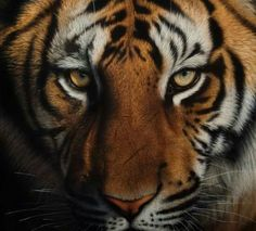 ~ Tiger face, acrylic and airbrush painting by the very talente wildlife artist Cristina Penescu from Romania. ~