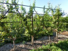 Fan-shape oblique espaliered plum trees