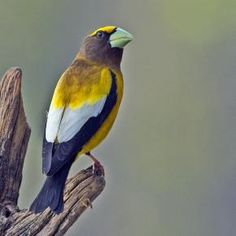 "Male Evening Grosbeak. I forgot to add this species to our ""Squirrel Buster Lovers"" board..."