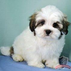 Havanese puppy - Austin