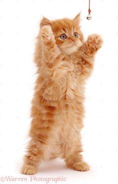 Playful Red Ginger Kitten
