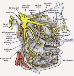 #DentalAnatomy