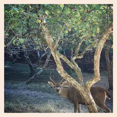 Oh hello fall. #firstdayoffall #fall #autumn #deer #westcoast #nature #beach #island #wildlife #islandlife #forager #local @penderisland @hellobc