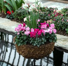 Cyclamen in core pot Garden Planning, Flowers, Plants, Gardens, Projects, Horticulture, Flora, Plant, Royal Icing Flowers