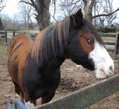Stetson's Mr. Blue - chimeric paint horse