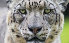 Habitat loss is a prime threat to many endangered land animals such as this snow leopard.