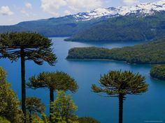 size: Photographic Print: Araucaria Trees Above Lago Conguillio Poster by Bethune Carmichael : Artists Sur Chile, Places To Travel, Places To See, Mother Earth, The Great Outdoors, South America, Landscape Photography, Beautiful Places, National Parks