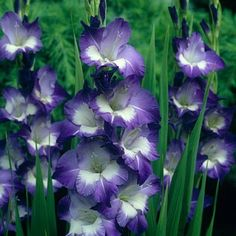 Gladiolus Nori | Gladiolus | Large, healthy bulbs produce stunning, purple and cream blooms in mid summer until frost.