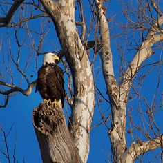 Look who came to visit? Bald Eagle at Creve Coeur Park. Photo taken by Park Ranger Steve Tiemann. #stlconature
