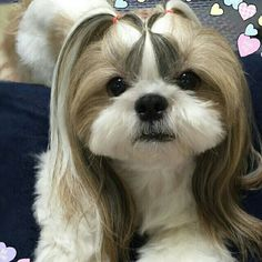 Super Dogs And Puppies Breeds Maltese Pets Ideas Cutest Small Dog Breeds, Cute Small Dogs, Cute Dogs, Dog Grooming Shop, Dog Grooming Business, Shih Tzus, Cute Puppies, Dogs And Puppies, Yorkie Hairstyles