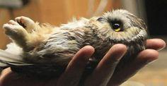 magicalnaturetour:    Baby Whet Owl Health Checkup by SarahSmith