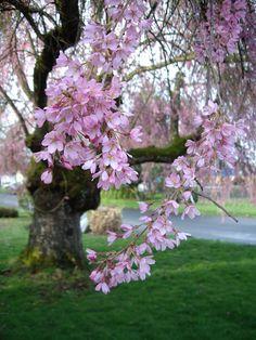 Weeping Cherry Tree, Weeping Higan Cherry (Prunus subhirtella)