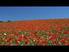 秩父高原牧場のポピー畑 Poppy Fields in Chichibu Highland Ranch