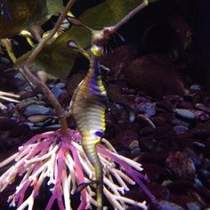 Phoneography Challenge: Beautiful sea dragon at Ripley s Aquarium in Myrtle Beach...