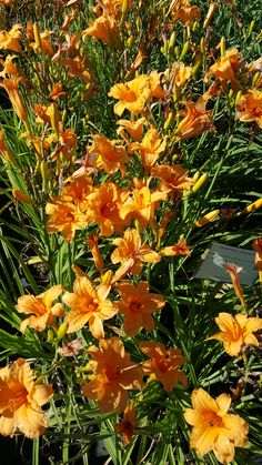Blooms early summer tall Best in full sun Zone 4 Perennials, Day Lilies, Lawn Care, Plymouth, Bloom, Sun, Landscape, Plants, Summer
