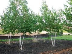 This variety of clump Birch tree is famous for its white chalk bark. The ornamental bark does not peel. The White Spire Birch is very tolerant of high temperatures. It is also used as an ornamental tree to brighten up a landscape.  Mature Height: 30-40'  Mature Width: 20-25'