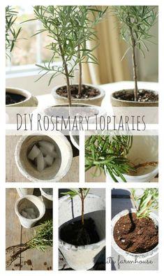 DIY rosemary topiaries.