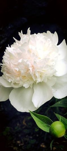 so many types of peonies but I love the simple white ones