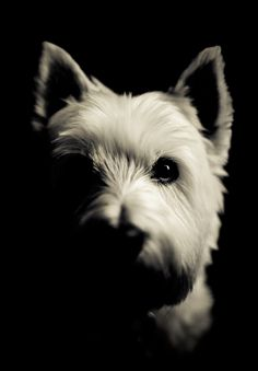 Westie West Highland White Terrier Puppy Dog Photography #DogPhotography