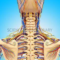 detailed Circulatory System on skeleton Body Anatomy, Circulatory System, Upper Body, Wonder Woman, Princess Zelda, Superhero, Drawings, Drawing Ideas, Skeleton