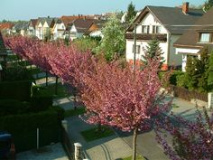 Our street in full bloom