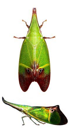 Odontoptera carrenoi