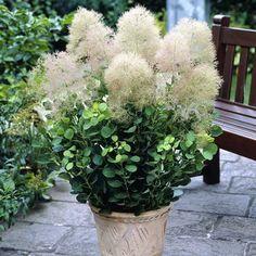 semillas de hortensias