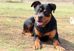 Comet is an adoptable Rottweiler Dog in Front Royal, VA. Comet is a 1 year old neutered Rottweiler that was found as a stray.  He is a very friendly boy and is good with cats.  If you can give him a g...