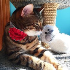 Brenna and monkey are celebrating July 4th with a little cuddle session! #bestfriends  #july4th #holiday #weekend #relaxing #cuddles #sleepykitty #monkey #madebycleo #ladybrennaoffairfax #cat #cats #catsofinstagram #catsagram #catsofworld #kitty #katzenworldblog #cats_of_instagram #catlover #bengal #bengalcat #bengalsofinstagram #bengal_cats #faithhopeloveandlucksurvivedespiteawhiskeredaccomplice #vais4bloggers #vafoodie #foodblog #foodblogger #virginia