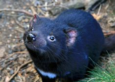 diable-tasmanie-mignons-australie