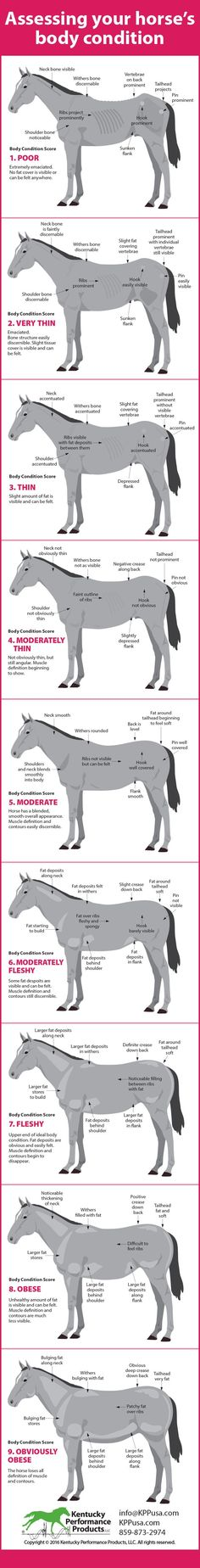 What is your horse's body condition score? Body condition scoring is based on a 9-point scale, with one being poor and 9 being obviously obese. Where your horse stores fat is an indicator of body condition. When evaluating your horse's condition there are some key areas to pay attention to. Read more here: http://kppusa.com/tips-and-topics/evaluate-horses-weight/