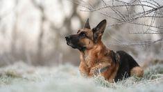 Pies, Owczarek niemiecki, Gałązki, Trawa