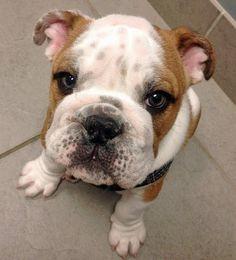 Louie the English Bulldog