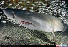 82 Meilleures Images Du Tableau Sharks Marine Life Underwater