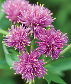New Annual Flowers - Available in both seeds and plants from the most trusted name in home gardening, Burpee. Find your favorite flower seeds and plants today. Globe Amaranth, Flower Landscape, Annual Flowers, September Flowers, Small Space Gardening, Flower Quotes, Flower Farm, Container Plants, Container Gardening