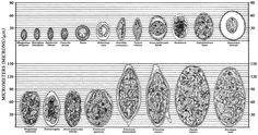 Chart: Relative sizes of Helminth eggs