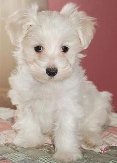 My dream puppy #maltipoo #dogs #cute
