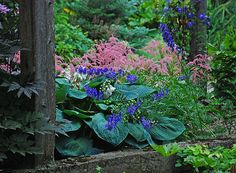 Shade perennials: Hosta sieboldiana 'Elegans', Astilbe 'Ostrich Plume' & Aconitum carmichaelii