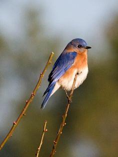 11 Best north carolina backyard birds images | Backyard ...