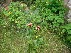 tulipes sauvages 2016