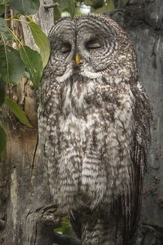 Photo Sleepy Owl by Chris Gibbs on 500px