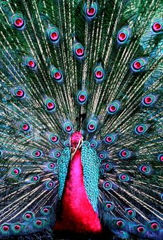 Pink peacock bird - photo#28