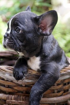 The major breeds of bulldogs are English bulldog, American bulldog, and French bulldog. The bulldog has a broad shoulder which matches with the head. Brindle French Bulldog, French Bulldog Puppies, French Bulldogs, French Bulldog Blue, Cute Puppies, Cute Dogs, Dogs And Puppies, Doggies, Little Puppies